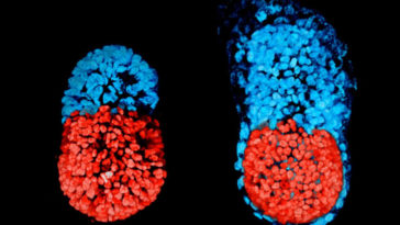 First-Artificial-Embryo