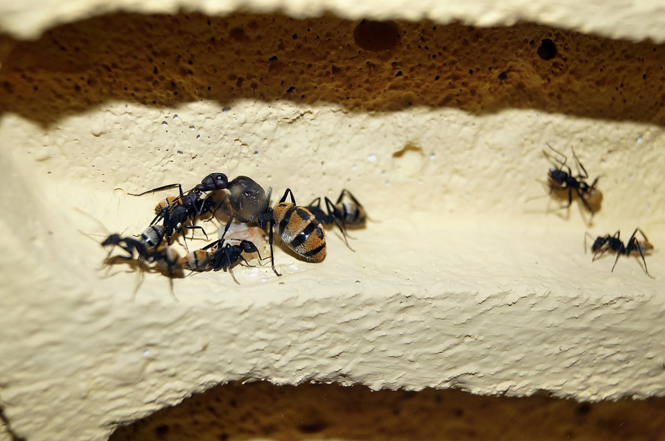Queen Ant Scaly Ant