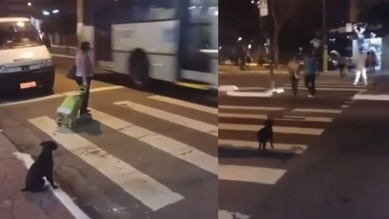 Smart-Dog-Crosses-the-Streets