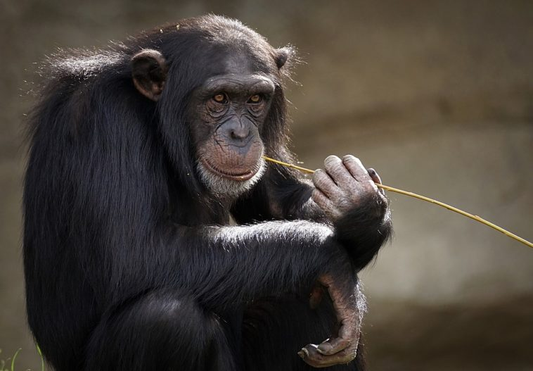 Chinese Researchers and Scientists Add Human Brain Genes to Monkeys