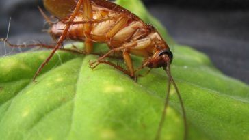 These pests are developing an immunity to pesticides