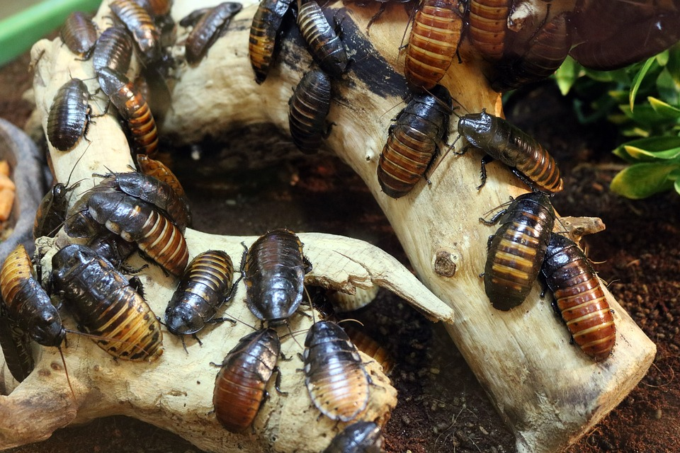 Cockroaches' immunity to pesticides are being developed by THEM